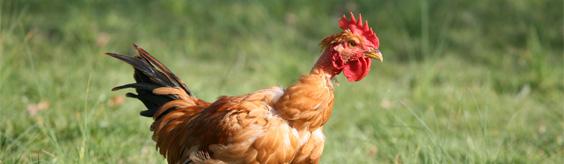 historique poulet