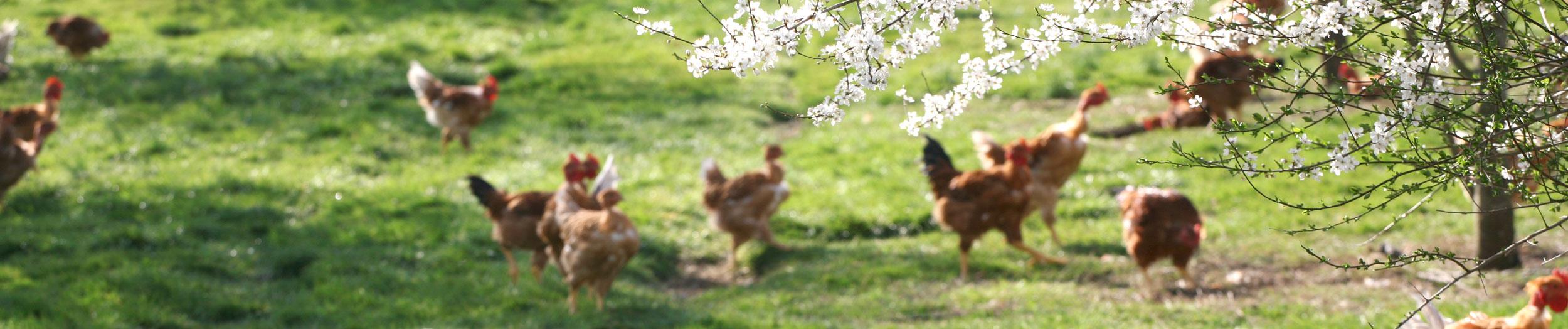 pouletslabelrouge